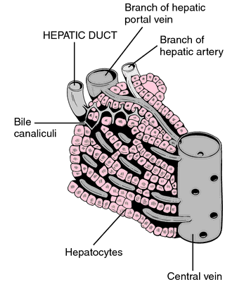 common bile duct cystic duct. hepatic duct the excretory