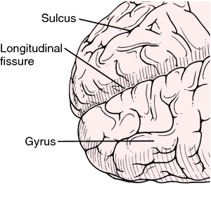 What is the function of gyri and sulci?