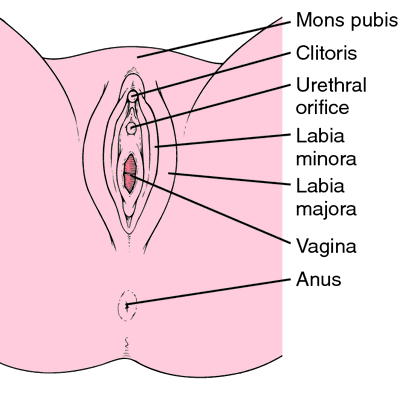 Female external genitalia. From Applegate, 2000.