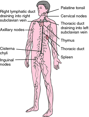 lymphatic glands | definition of lymphatic glands by medical, Human Body