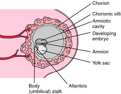 Yolk sac | definition ...