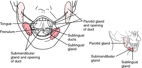 Lymph Nodes In Your Face together with Inferior salivatory nucleus further Cranial Nerve 7 Facial Nerve in addition Enlarged Epitrochlear Lymph Nodes moreover Phenotypes. on salivary gland location