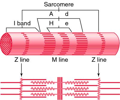 Sarkomer  Wikipedia