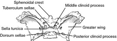 Hypophyseal fossa | definition of Hypophyseal fossa by ...