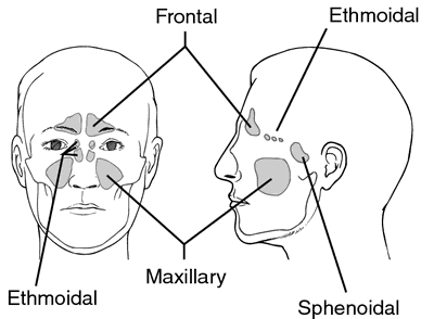 Frontal sinus | definition of frontal sinus by Medical dictionary
