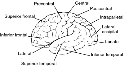 central sulcus | definition of central sulcus by medical dictionary, Human Body