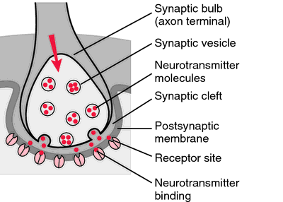 what substance is found in synaptic vesicles of the axon terminal Neurotransmitter is stored in synaptic vesicles (small green circles) at the presynaptic nerve terminal (top part) the vesicles are clustered in the vicinity of the plasma membrane a docking step moves vesicles to the membrane where there might be additional reactions required, called priming, before the vesicle can fuse upon calcium (yellow .