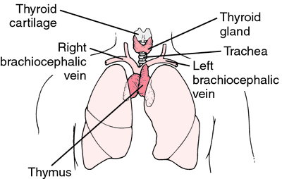 thymus glands | definition of thymus glands by medical dictionary, Cephalic Vein