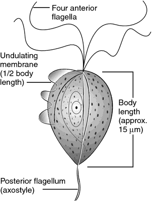 Trichomonas gallinae definition of Trichomonas gallinae