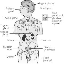 endocrine glands | definition of endocrine glands by medical, Cephalic Vein