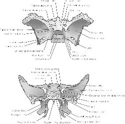 sphenoid bones | definition of sphenoid bones by medical dictionary, Human Body