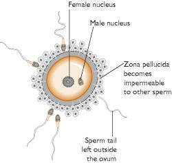 fertilization - definition of fertilization in the Medical ...