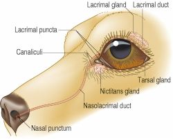 Lacrimal gland | definition of lacrimal gland by Medical dictionary