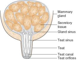 Anatomy of Cow Udder http://medical-dictionary.thefreedictionary.com/mammary+gland