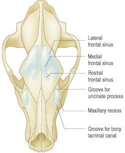 paranasal sinuses | definition of paranasal sinuses by medical, Human Body