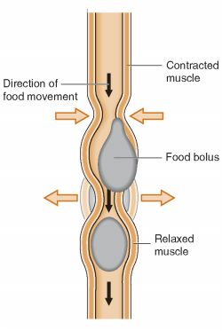 Peristalsis Definition Of Peristalsis By Medical Dictionary