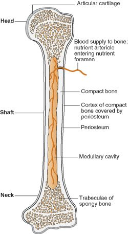 Endosteum And Periosteum
