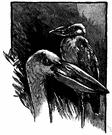Anastomus - openbills
