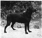 Labrador retriever - breed originally from Labrador having a short black or golden-brown coat