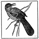 genus Toxostoma - thrashers