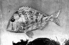 scup - lean flesh of fish found in warm waters of southern Atlantic coast of the United States
