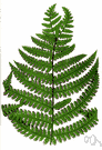 genus Deparia - classification used for 5 species of terrestrial ferns usually placed in other genera