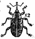 Anthonomus - weevils destructive of cultivated plants