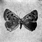 genus Lycaena - type genus of the Lycaenidae
