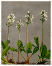 genus Menyanthes - the type genus of the Menyanthaceae
