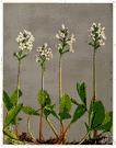 Menyanthes - the type genus of the Menyanthaceae