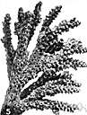 arborescent - resembling a tree in form and branching structure
