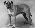 bull mastiff - large powerful breed developed by crossing the bulldog and the mastiff