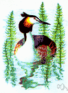 Podiceps cristatus - large Old World grebe with black ear tufts