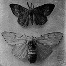 gypsy moth - European moth introduced into North America