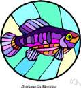 flagfish - a fish with a dark-blue back and whitish sides with red stripes