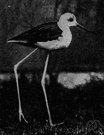 black-winged stilt - stilt of Europe and Africa and Asia having mostly white plumage but with black wings