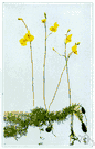 bladderwort - any of numerous aquatic carnivorous plants of the genus Utricularia some of whose leaves are modified as small urn-shaped bladders that trap minute aquatic animals