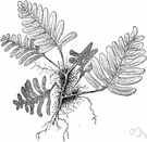 grey polypody - fern growing on rocks or tree trunks and having fronds greyish and scurfy below
