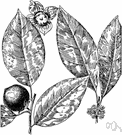 possumwood - medium-sized tree of dry woodlands in the southern and eastern United States bearing yellow or orange very astringent fruit that is edible when fully ripe