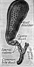 biliary - relating to the bile ducts or the gallbladder