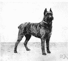Bouvier des Flandres - rough-coated breed used originally in Belgium for herding and guarding cattle