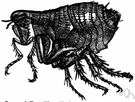 Ctenocephalides felis - flea that breeds chiefly on cats and dogs and rats