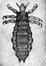 Pediculus corporis - a parasitic louse that infests the body of human beings