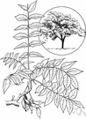ailanthus - any of several deciduous Asian trees of the genus Ailanthus