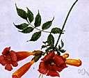 Streptosolen jamesonii - evergreen South American shrub having showy trumpet-shaped orange flowers