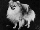 Pomeranian - breed of very small compact long-haired dogs of the spitz type