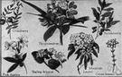 family Ericaceae - heathers