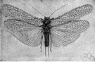 plecopteran - primitive winged insect with a flattened body
