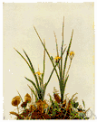Hypoxis - small plants that resemble amaryllis and that grow from a corm and bear flowers on a leafless stalk