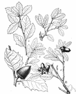 huckleberry oak - a low spreading or prostrate shrub of southwestern United States with small acorns and leaves resembling those of the huckleberry